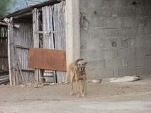 A standing light brown dog in front of an old abandoned. An old abandoned given up house, in ruin, ruined. There is neither door, nor window. The time is Stock Photo