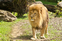 Standing lion closeup. In a zoo Royalty Free Stock Photos