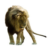 Standing lion. Stock Photos