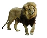 Standing lion Stock Photos