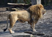 Standing Lion Royalty Free Stock Photo