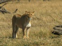 Standing lioness in masai mara national park, kenya. Standing lioness on the savanna  in masai mara national park, kenya stock images