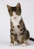 Standing little cat. An isolated standing little cat Stock Image