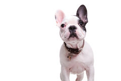 Standing little french bulldog puppy dog is looking up Royalty Free Stock Photos