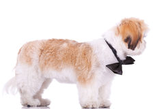 Standing little shih tzu puppy Royalty Free Stock Images