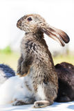 Standing looking fluffy gray rabbit. Close-up shallow depth of field, selective focus. Easter bunny concept. Standing looking fluffy gray rabbit. Close-up royalty free stock photography
