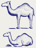 Standing and lying camels Stock Images