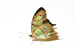 Standing Malachite butterfly isolated on white with it's beautiful wings up. Backlit Malachite butterfly isolated on white stock photo