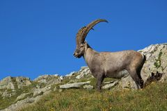 Standing male alpine ibex with big horns Royalty Free Stock Photos