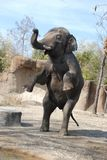 Standing male elephant Stock Photography