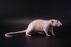 Standing male hairless rat Dumbo Sphynx breed. Royalty Free Stock Images