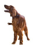 Standing male red irish Setter Stock Photo