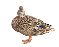 Standing mallard duck isolated on white. Background Royalty Free Stock Images