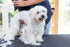 Standing Maltese dog is groomed Royalty Free Stock Photo