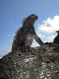 Standing Marine Iguana. A single marine iguana (amblyrhyncus cristatus) that is basking in the sun is virtually silhouetted against the sky. These reptiles are stock images