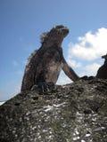 Standing Marine Iguana Stock Images
