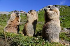 Standing marmots in the mountains eat with their paws Royalty Free Stock Photos
