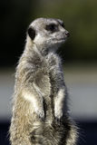 Standing Meercat Stock Photography