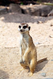 Standing Meerkat Royalty Free Stock Images