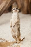 Standing Meerkat Royalty Free Stock Photography