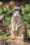 Standing meerkat Stock Images