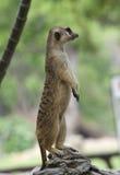Standing Meerkat Stock Image