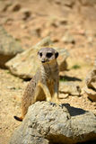 Standing Meerkat on rock Royalty Free Stock Photos