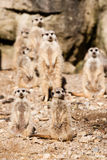 Standing Meerkat Stock Photography
