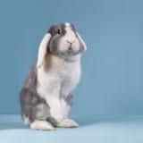 Standing mini-lop rabbit. Stading mini-lop rabbit on blue background Royalty Free Stock Photo