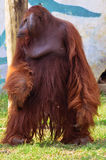 The standing orangutan Stock Photos