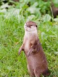Standing Otter Royalty Free Stock Photography