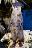 Standing Otter. An Otter stands on his hind legs royalty free stock photography