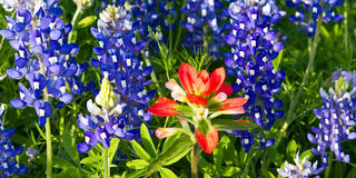 Standing out. Close-up of characteristically Texas wildflowers, indian paintbrush and bluebonnets.  Picture taken on the Willow Loop, a spectacular, self Stock Photography