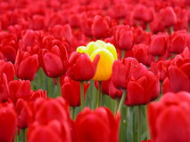 Standing out in a crowd. One Yellow Tulip in a sea of red tulips Stock Images