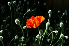 Standing Out in the Crowd. One blossoming poppy is surrounded by bowing buds not yet opened Royalty Free Stock Image