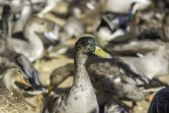 Standing out from the crowd - Mallard duck. Selective focus on a male mallard that consequently stands out from a large group of ducks. The mallard is in Stock Images