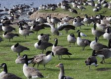 Standing out. Large flock of geese with one flapping wings, banks of lake, nature Royalty Free Stock Photos
