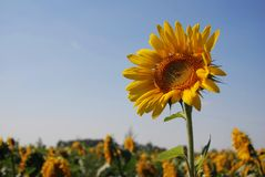 Standing out sunflower Royalty Free Stock Photos
