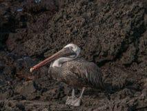 Standing Pelican Stock Photos
