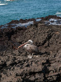 Standing Pelican Royalty Free Stock Photography