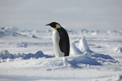 Standing penguin. Standing emperor penguin looking to the left Royalty Free Stock Photos