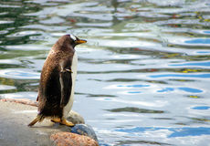 Standing  penguin Royalty Free Stock Photos