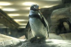 Standing penguin. A penguin standing on a stone Royalty Free Stock Images