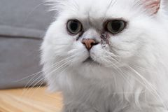 Standing persian chinchilla cat silver shade with gum in the eye, close-up. Standing persian chinchilla cat silver shade, close-up Stock Photography