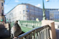Standing pigeon on bridge of Griboyedov Canal with St Petersburg stock photography