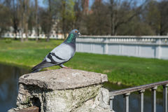 Standing pigeon in the park Stock Images