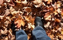 Standing in a pile of radiant fall leaves royalty free stock images
