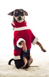 Standing Pincher dog in Santa Claus costume Royalty Free Stock Photo