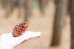 Standing pine cone/flower on the woman hand that exposed the sun at the morning. Side view close up details. stock images