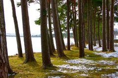 Standing Pine Trees Stock Photography